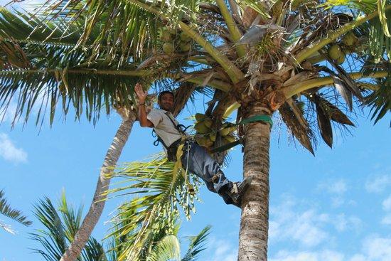 Fiji Hideaway Resort & Spa: Collecting coconuts