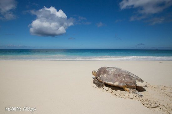 North Island Seychelles: Sea Turtles have returned to North Island