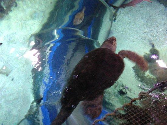 Blue Reef Aquarium: Giant turtle.