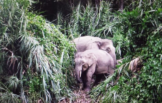 Sukau Rainforest Lodge: the endangered pygmy elephant makes an appearance