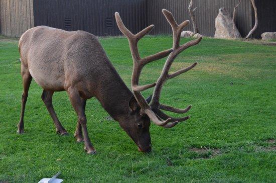 Kachina Lodge: An elk outside the lodge