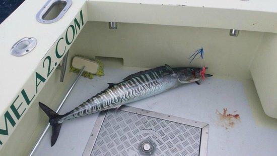 Lady Pamela II Sportfishing: Last fish in the boat 1.30 PM on 7-10-14