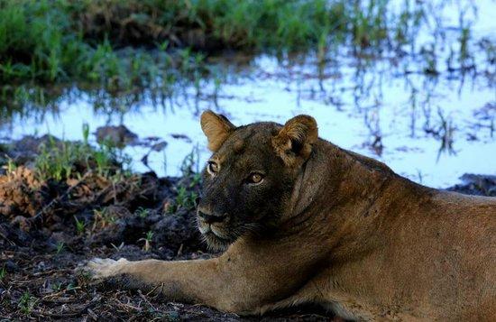 Chiawa Camp: Lioness