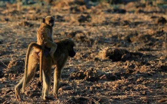 Chiawa Camp : Baboons