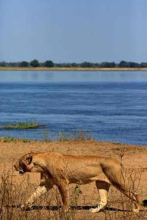 Chiawa Camp : Lioness