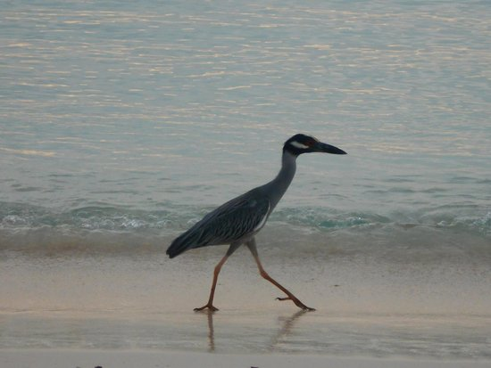 Rooms Ocho Rios: Beach Bird hunting crabs