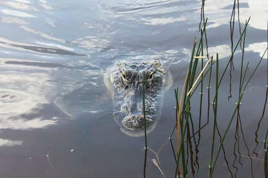 Sawgrass Recreation Park: I could have reached out and scratched his nose (I didn't).