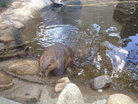 ZooMontana: Busy beaver!