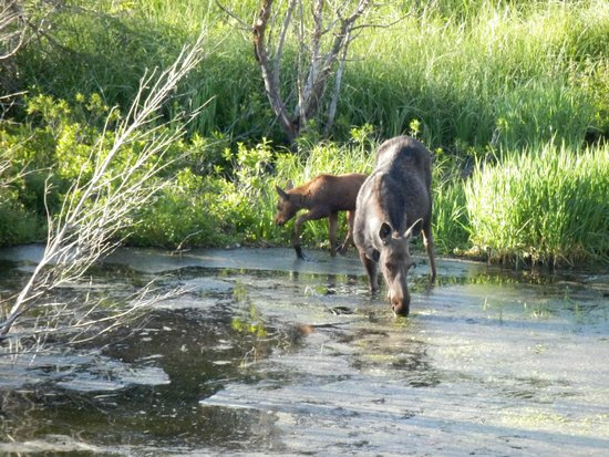 Wildlife Expeditions of Teton Science Schools: Mother & Baby Moose June 2014