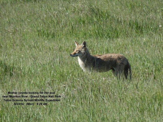 Wildlife Expeditions of Teton Science Schools: Mother Coyote June 2014
