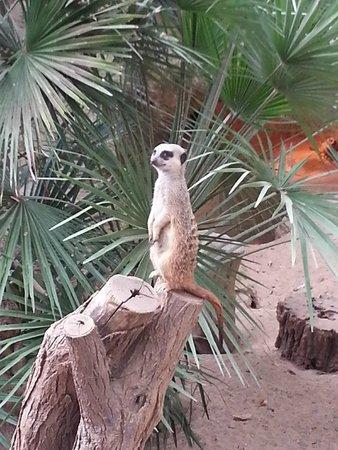 Zoo de Barcelona: Vaktande surikat.