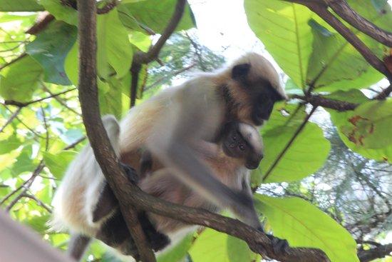 Nagaon Beach : Monkeys on Trees in Nagaon