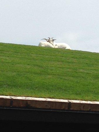 Al Johnson's Swedish Restaurant & Butik: Goats!