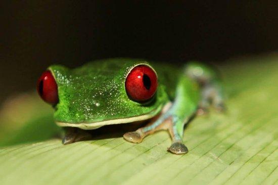 Lapa Rios Ecolodge Osa Peninsula: beautful frog
