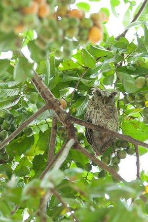 Lapa Rios Ecolodge Osa Peninsula: screech owl