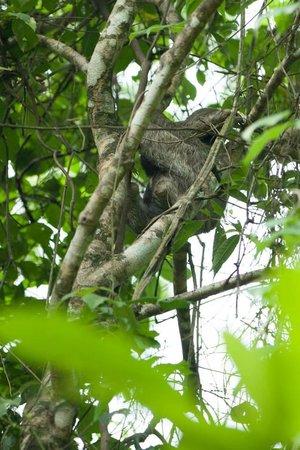 Lapa Rios Ecolodge Osa Peninsula: sloth