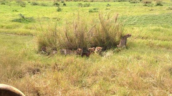 Porini Amboseli Camp : Quietly watching cheetahs eat in Amboseli