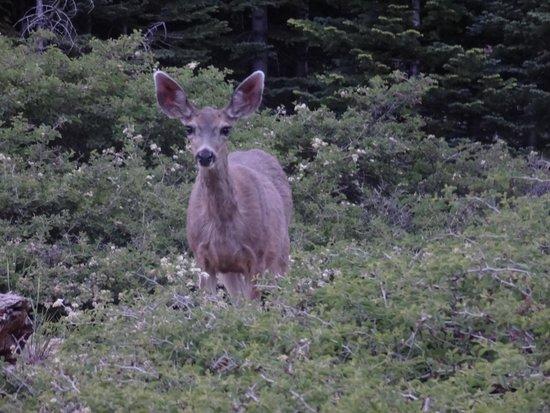 Mule Deer @ Wuksachi Lodge