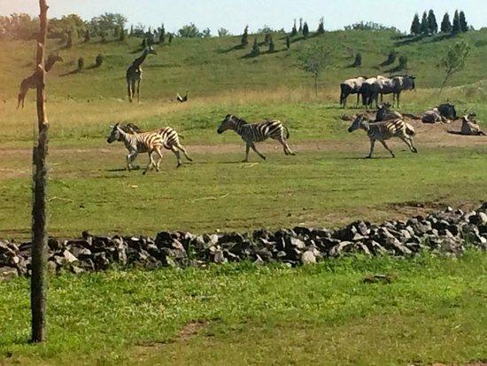 Columbus Zoo: Zebras on the run