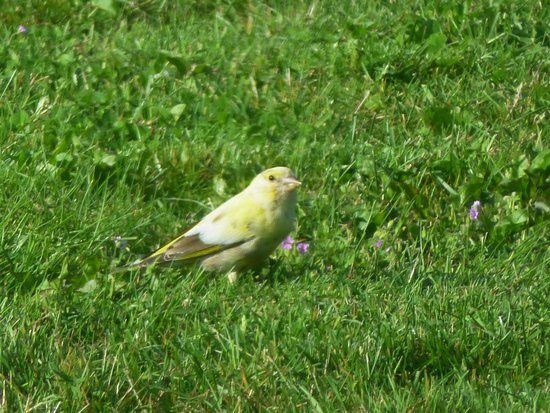 Cleers View Farm: yellowhammer in the garden