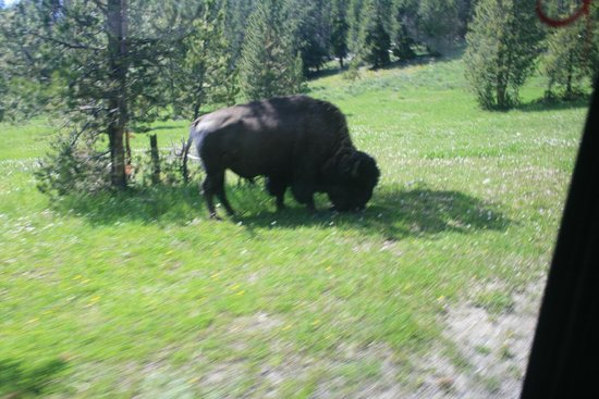 yLoop Road Trips - Day Trips: Bison by roadway. I asked and they stopped for better picture.