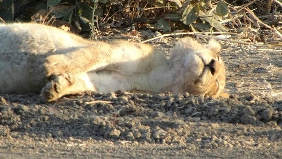 Mchenja Bush Camp - Norman Carr Safaris: Baby lion asleep with a very full belly!!!