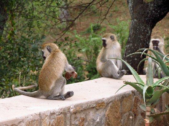 Tarangire Safari Lodge : Monkey-in Around