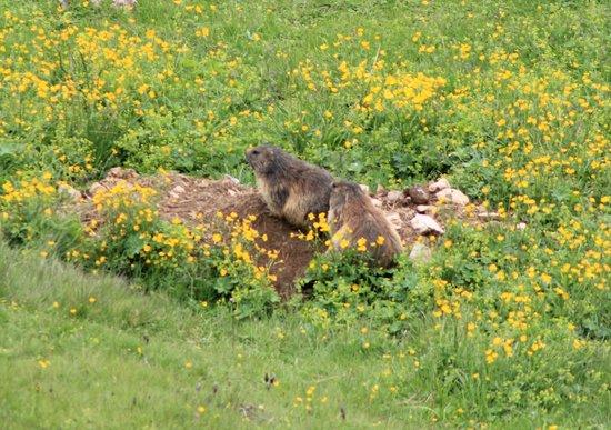 Hotel Carmen: Marmotte sul Sassolungo