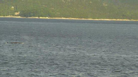 Excursions en Mer Baie de Tadoussac Day Tours : BALEINES à BOSSES