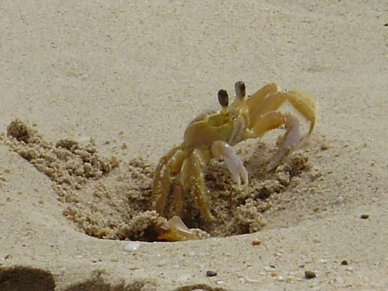 Renaissance St. Croix Carambola Beach Resort & Spa: One of many small crabs on the beach