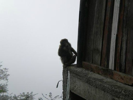 Mt. Emei Natural Ecology Monkey Reserve : cute(ish) from a distant
