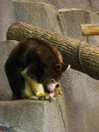 Milwaukee County Zoo: New mama tree kangaroo
