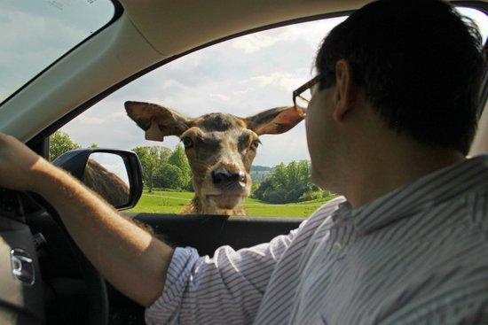 Longleat: Deer