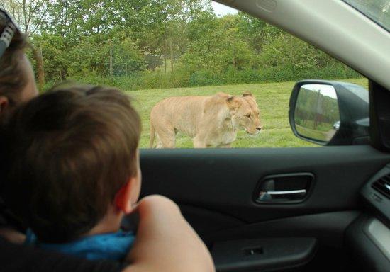 Longleat: Lion