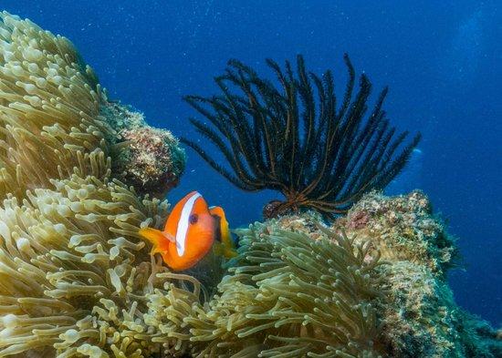 Hideaway Island Marine Reserve : Clown Fish