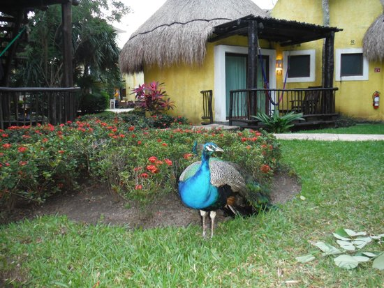 Iberostar Cozumel: Suite with peacock in foreground