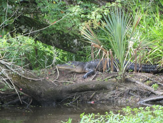 Tours by Isabelle: Baby Gator as seen on the swamp tour
