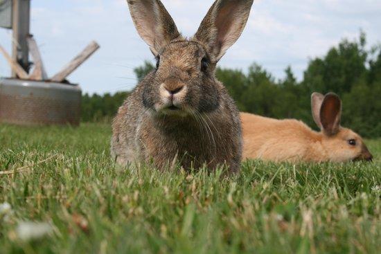 Upper Clements Cottages: Bunnies!