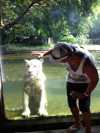 Mara River Safari Lodge: White Tiger swimming