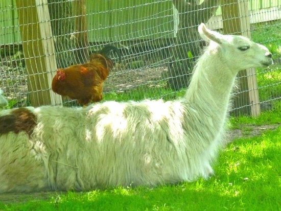 Wisconsin Deer Park: Rooster on llama's back
