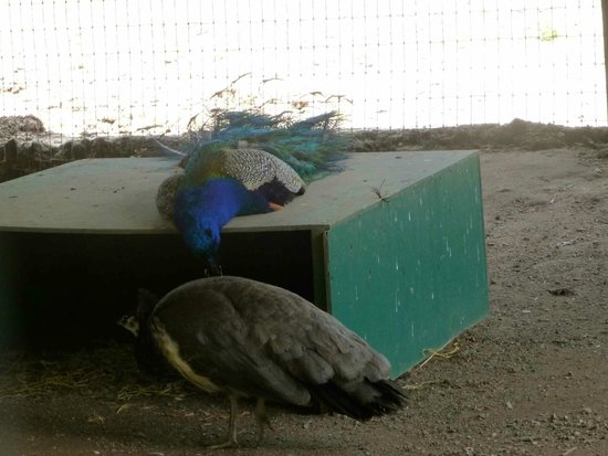 Wisconsin Deer Park: Peacocks