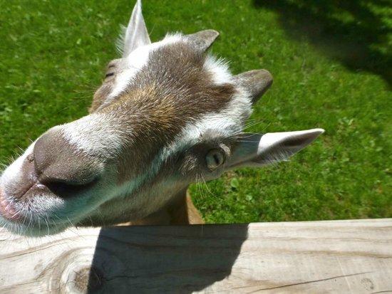 Wisconsin Deer Park: Goats