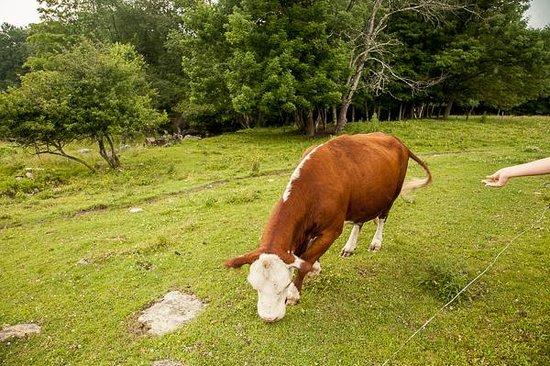 Shearer Hill Farm B&B: Feeding the cows.
