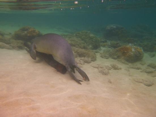 Ke'e Beach : monk seal