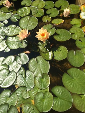 City Hall: Lily lads and lotus' in the fountain out front