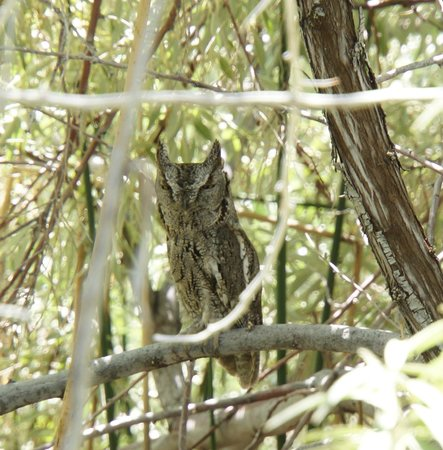 Snake River Birds of Prey National Conservation Area: Horned Owl in the bushy trees at the Snake River picnic area