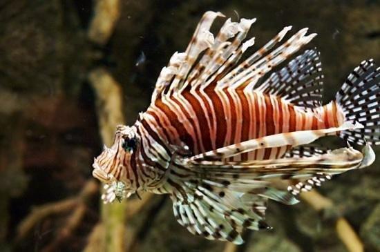 Aquaria KLCC : Up Close and personal with a dragon fish