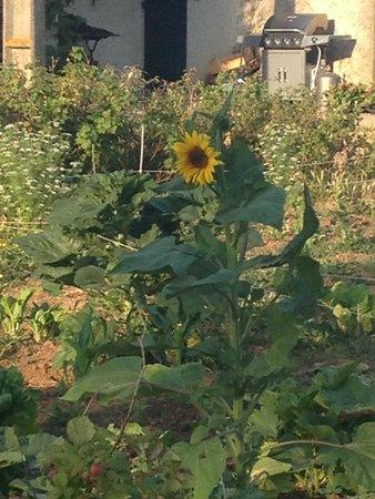 Mas Du Petit Grava : Sunflowers in the veggie patch