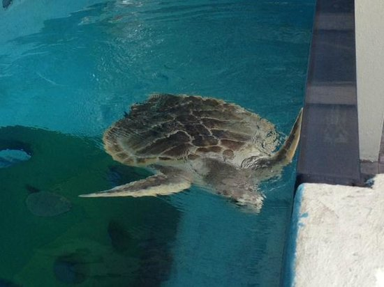 Rescued Turtle Picture Of Mote Marine Laboratory And