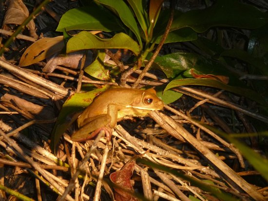 Dan Irby's Mangrove Adventures : The frogs come out at night